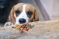 Beagle dog try to scrounge dry food from the table, Pet eating f. Ood royalty free stock image