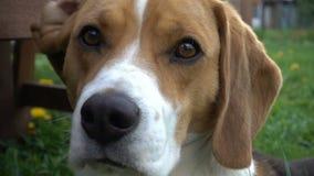Beagle dog turning his head towards camera, close up. Hd video stock video