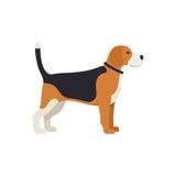 Beagle Dog - Vector color illustration Stock Image