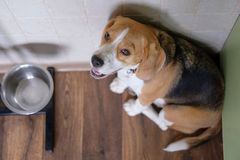 Beagle dog waits for food near the bowl Stock Image