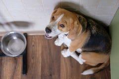 Beagle dog waits for food near the bowl. The Beagle dog is sad waiting for food near the empty bowl Stock Image