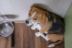 Beagle dog waits for food near the bowl Stock Photography