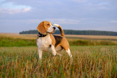 Beagle dog on a walk early in the morning Royalty Free Stock Photo