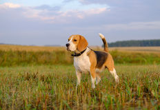 Beagle dog on a walk early in the morning Stock Photography