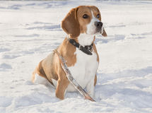 Beagle dog for a walk Stock Photo