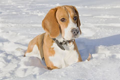 Beagle dog for a walk Stock Photos