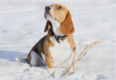 Beagle dog for a walk Royalty Free Stock Photo