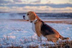 Beagle dog on a walk in the spring at sunset. Beagle dog on a walk in the spring evening at sunset Stock Photos