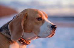 Beagle dog on a walk in the spring at sunset. Beagle dog on a walk in the spring evening at sunset Royalty Free Stock Photography