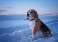 Beagle dog on a walk at sunset on a March evening. Beagle dog on a walk at sunset in a snowy field Stock Photos