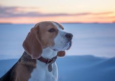 Beagle dog on a walk at sunset on a March evening. Beagle dog on a walk at sunset in a snowy field Royalty Free Stock Images