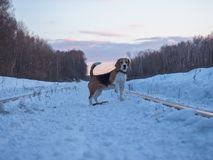 Beagle dog on a walk at sunset on a March evening. Beagle dog on a walk at sunset in a snowy field Stock Photo