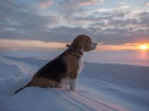 Beagle dog on a walk at sunset on a March evening. Beagle dog on a walk at sunset in a snowy field Stock Photography