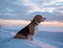 Beagle dog on a walk at sunset on a March evening. Beagle dog on a walk at sunset in a snowy field Royalty Free Stock Image