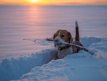 Beagle dog on a walk at sunset on a March evening. Beagle dog on a walk at sunset in a snowy field Stock Image