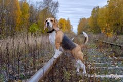 Beagle dog on a background of autumn forest. Beagle dog for a walk in the woods on a background of yellow autumn foliage Royalty Free Stock Photo