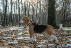 Beagle dog for a walk in the woods royalty free stock photo