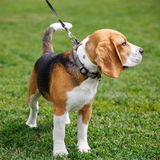 Beagle dog walking on the grass. And looks aside Royalty Free Stock Photos