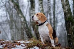 Beagle dog on a walk in a winter foggy day Royalty Free Stock Image