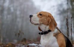 Beagle dog on a walk in a winter foggy day Stock Photo