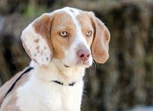 Beagle dog, Walton County Animal Shelter. Beagle hunting hound rabbit dog, humane society adoption photo, outdoor pet photography, Walton County Animal Control stock photos