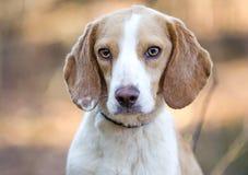 Beagle dog, Walton County Animal Shelter. Beagle hunting hound rabbit dog, humane society adoption photo, outdoor pet photography, Walton County Animal Control stock image