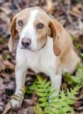 Beagle dog, Walton County Animal Shelter. Beagle hunting hound rabbit dog, humane society adoption photo, outdoor pet photography, Walton County Animal Control royalty free stock photography