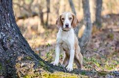 Beagle dog, Walton County Animal Shelter. Beagle hunting hound rabbit dog, humane society adoption photo, outdoor pet photography, Walton County Animal Control royalty free stock photo