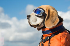 Beagle dog wearing blue flying glasses royalty free stock images