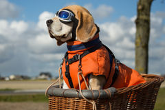 Beagle dog wearing blue flying glasses Royalty Free Stock Photography
