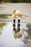 Beagle dog in wellies Stock Images