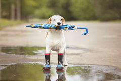 Beagle dog in wellies Royalty Free Stock Photo