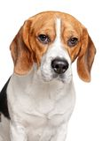 Beagle dog on a white background Stock Photo