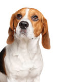 Beagle dog on white background Stock Photography