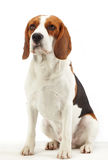 Sitting beagle dog Stock Photos