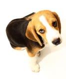 Beagle dog  on white Royalty Free Stock Image