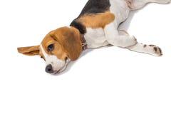 Beagle dog on white background Stock Photo