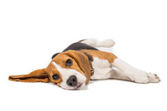 Beagle dog on white background Stock Photos