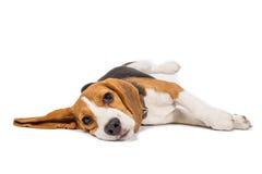 Beagle dog on white background Stock Photos