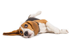 Beagle dog on white background. Pet for family, cute beagle, beagle is waiting Royalty Free Stock Images