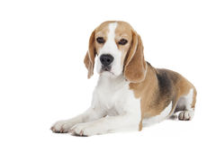 Beagle dog on a white background Stock Photography