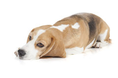 Beagle dog on a white background Stock Image