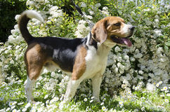 Beagle dog on the white flowers Stock Photos