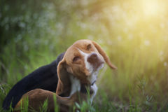Beagle dog  in the wiild flower field. Beagle dog scratches its body in the wiild flower field Royalty Free Stock Photos