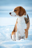 Beagle dog winter portrait Royalty Free Stock Image