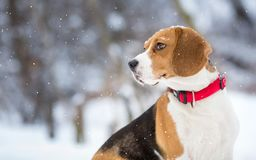 Beagle dog winter portrait. Background Stock Image