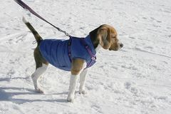 Beagle dog in winter Royalty Free Stock Image