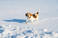 Beagle dog in the winter Royalty Free Stock Photo