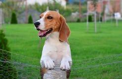 Beagle dog. In a yard Royalty Free Stock Photo