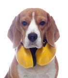 Beagle dog with yellow headphones isolated on white. Background Royalty Free Stock Images
